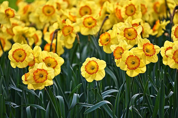 水仙 黄色